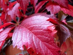 Yedra de cinco puntas en otoño